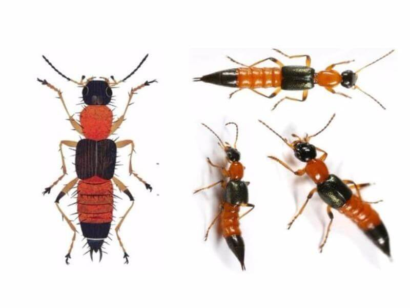 Hướng dẫn cách phòng chống và tiêu diệt kiến ba khoang hiệu quả